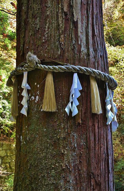 Shimenawa con los shide protegen un cedro gigante en el Templo Yuki